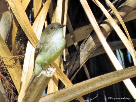 alder-flycatcher-2-ud94
