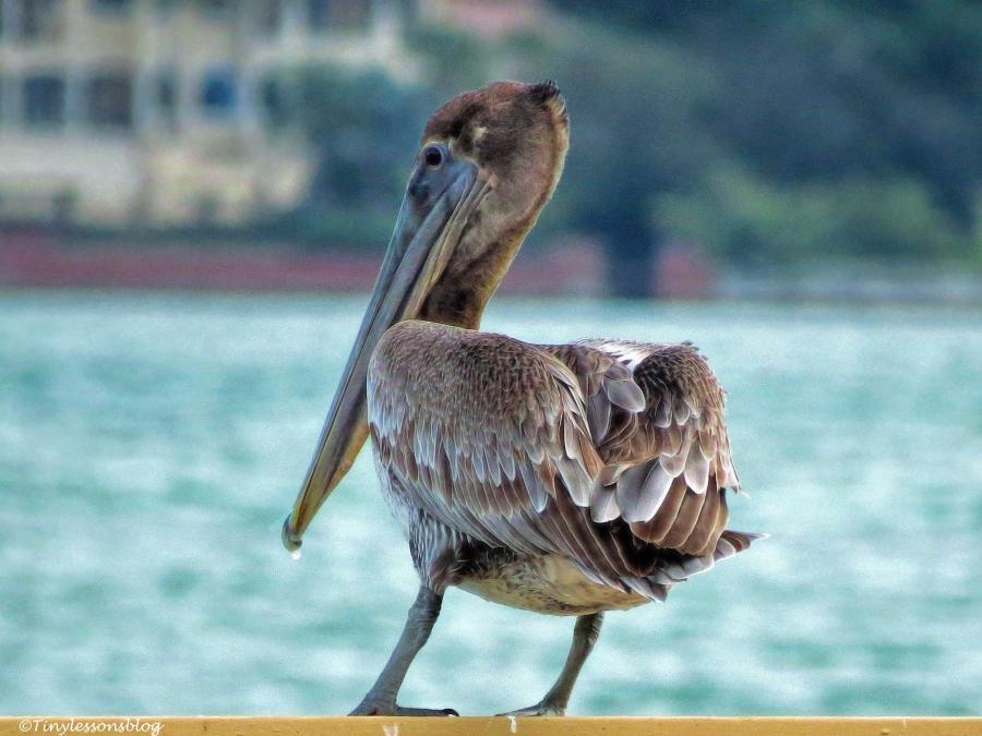 brown-pelican-ud94