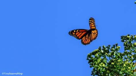butterfly-monarch-ud95