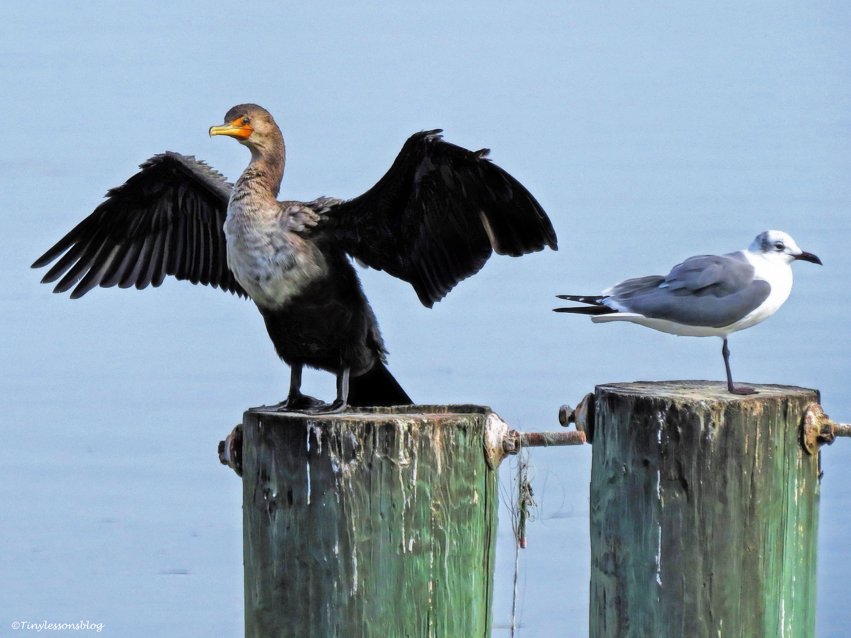 cormorant-and-gull-georgia-ud98