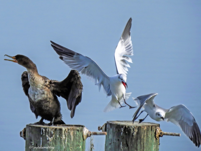 cormorant-and-gulls-georgia-ud98