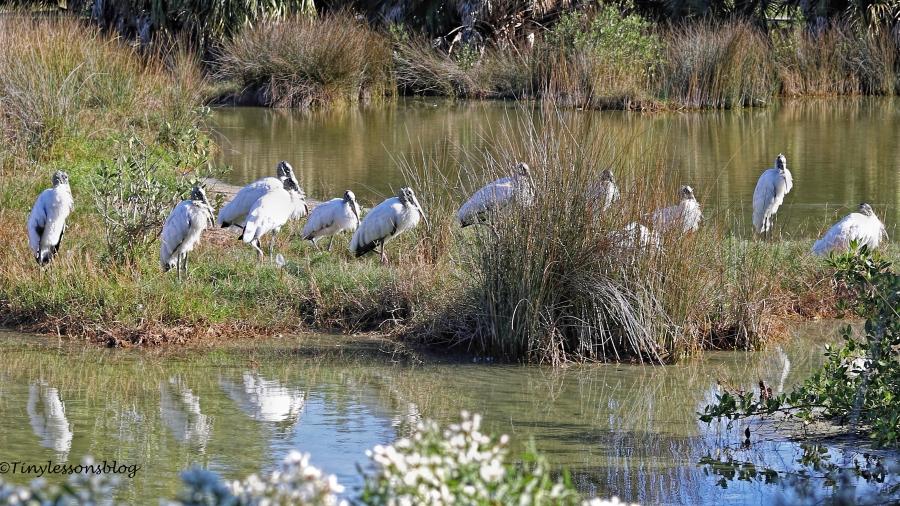 dozen-wood-storks-ud94