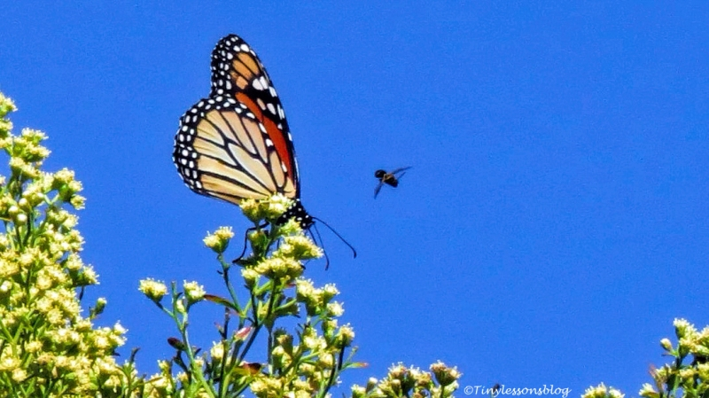 fly-and-the-monarch-butterfly-ud95