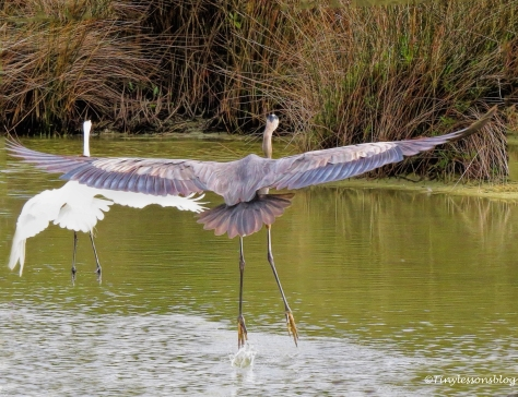 great-blue-heron-and-great-egret-flying-ud94