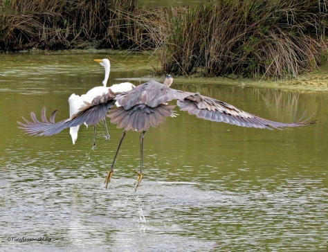 great-blue-heron-and-great-egret-in-flight-ud94