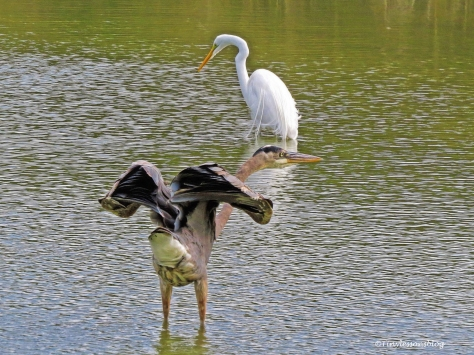 great-blue-heron-and-great-egret-ud94