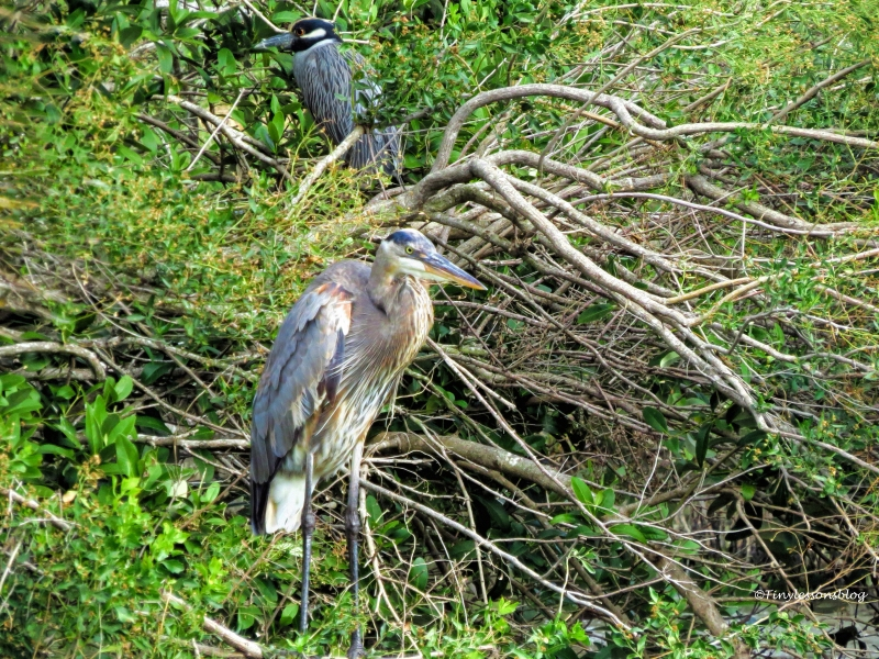 great-blue-heron-and-night-heron-2-ud94