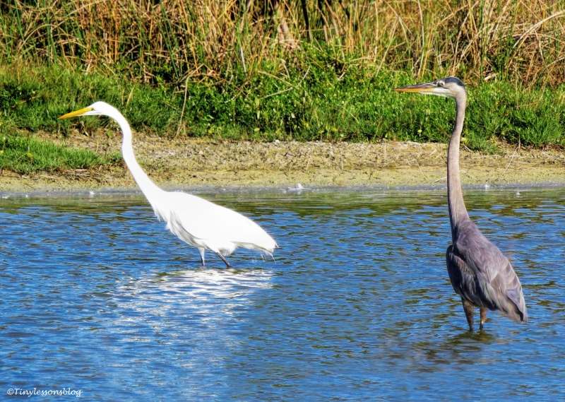 great-egret-and-great-blue-heron-ud97