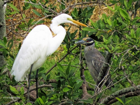 great-egret-and-night-heron-ud94