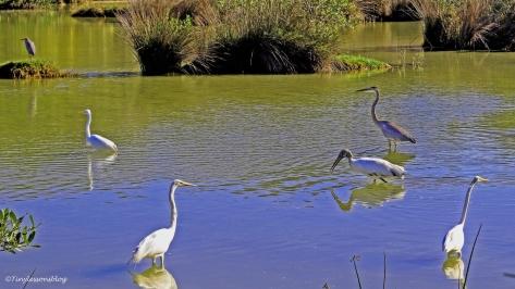 great-egrets-blue-heron-reddish-egret-ud94