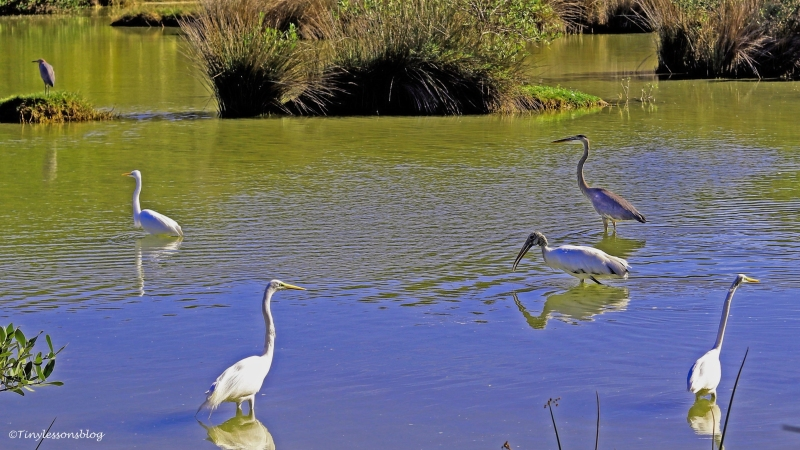 great-egrets-blue-heron-reddish-egret-ud94