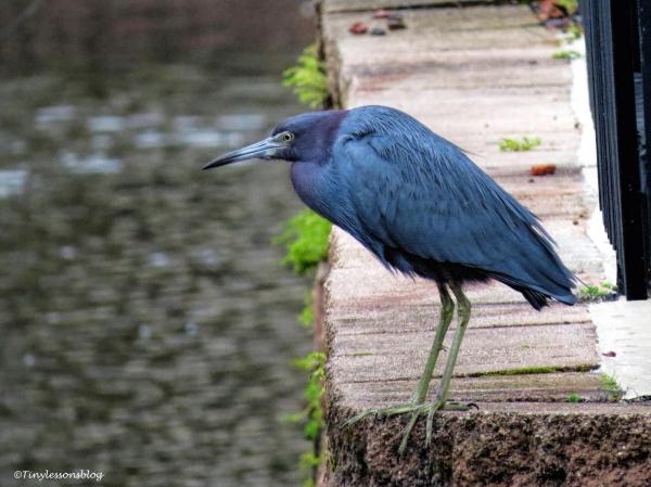 little-blue-heron-jax-ud98
