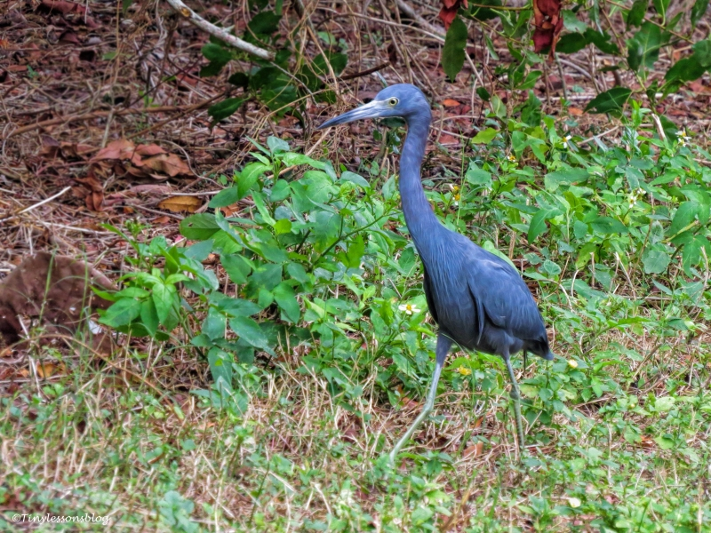 little-blue-heron-ud94