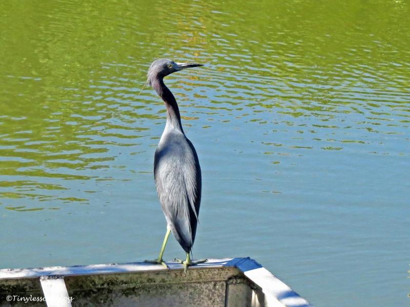 little-blue-heron-ud97