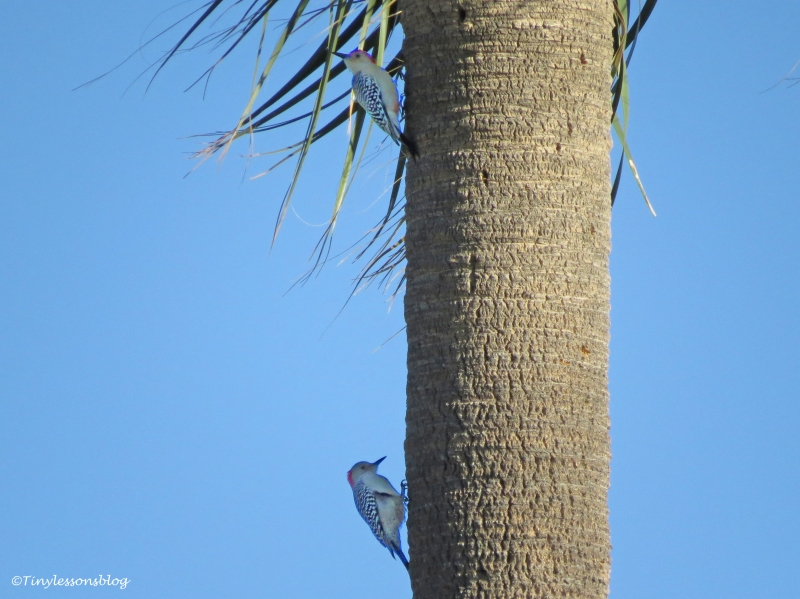 male-and-female-red-bellied-woodpecker-ud97