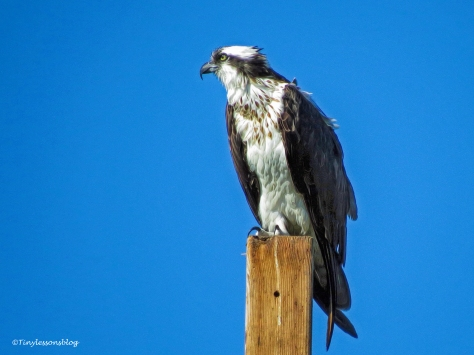 mama-osprey-at-her-perch-ud97
