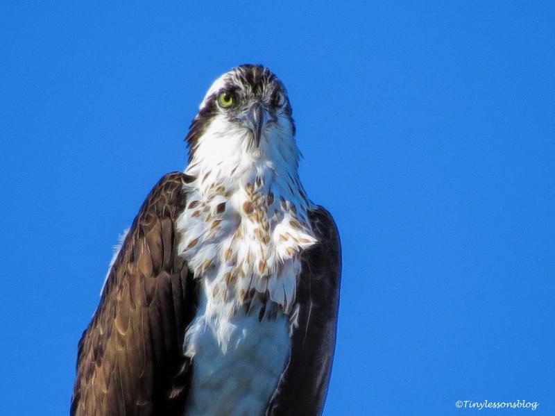 mama-osprey-closeup-ud94