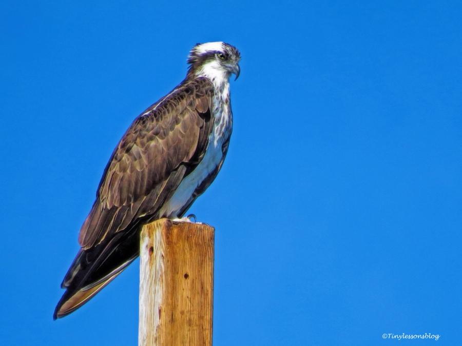 mama-osprey-on-her-perch-ud94