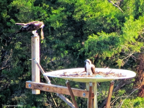 mama-osprey-with-her-proposal-gift-ud99