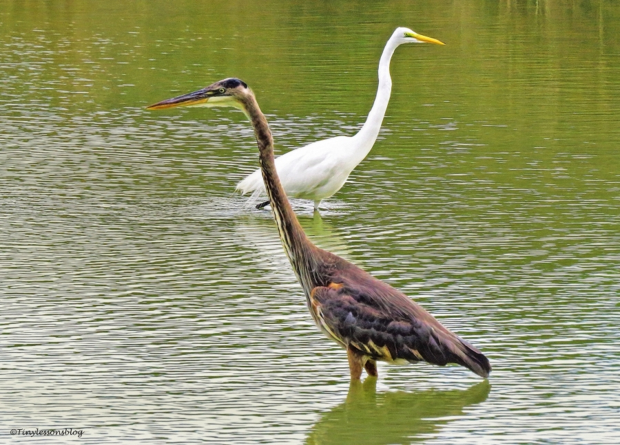 mayor-and-great-egret-ud94