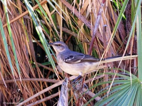 northern-mockingbird-ud94