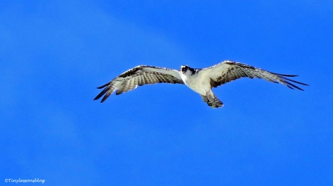 papa-osprey-flies-over-talking-to-mama-ud94