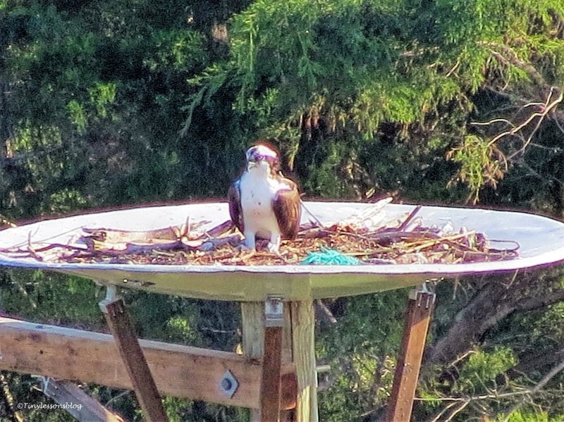 papa-osprey-in-the-nest-ud99