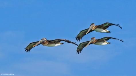 pelicans-in-flight-16x9-ud95