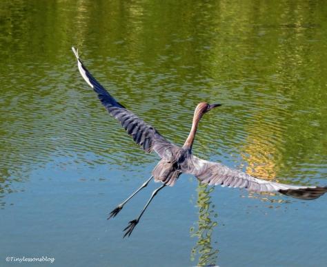 reddish-egret-flying-ud97