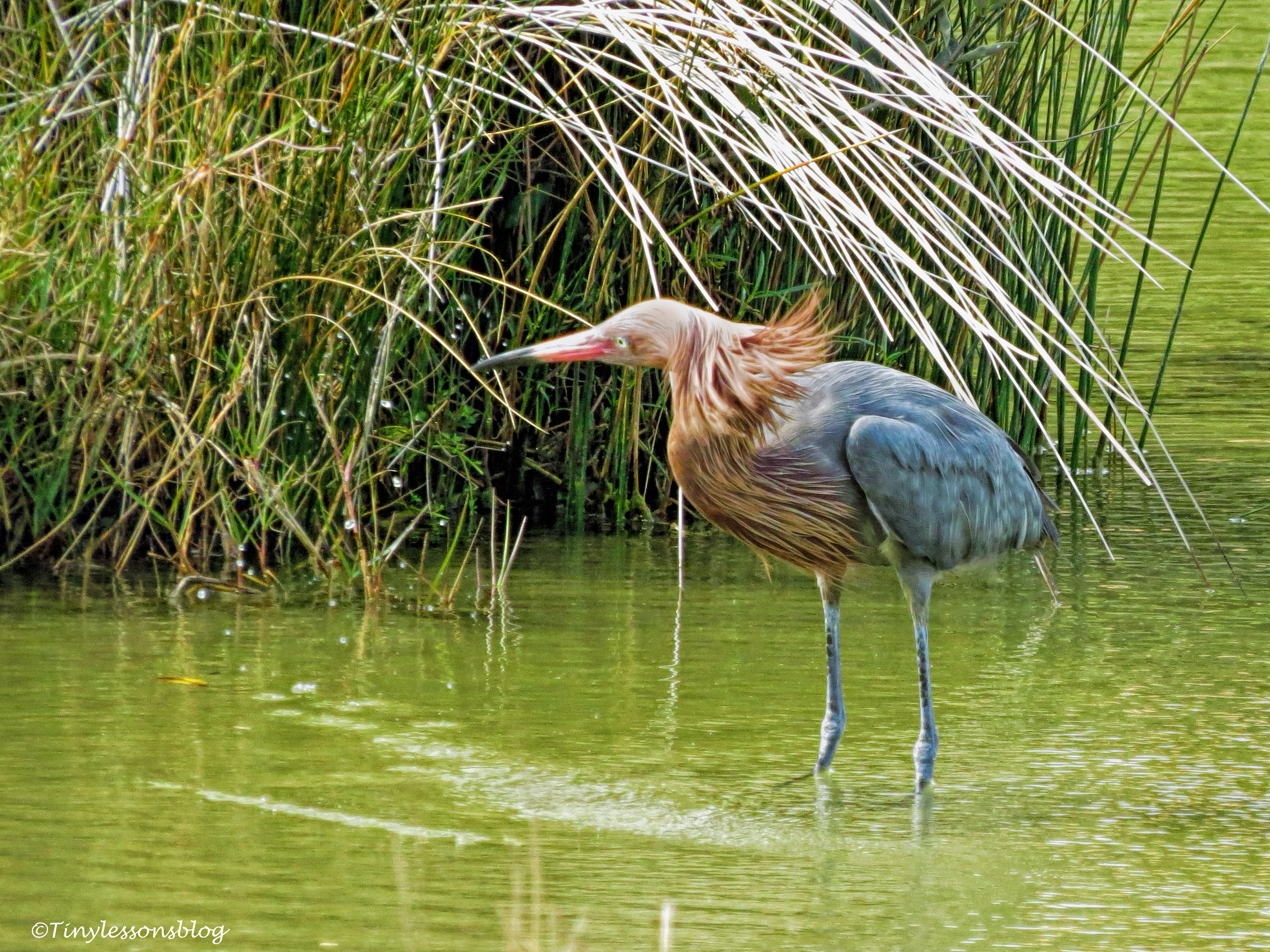 reddish-egret-shaking-off-water-ud94