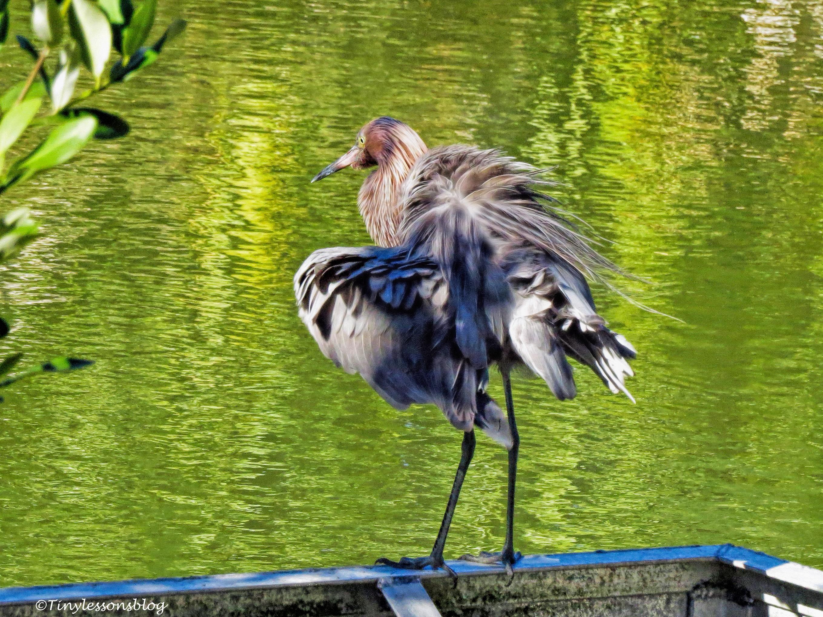 Reddish Egret ud97.jpg