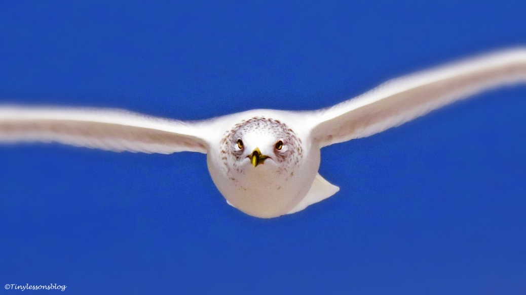 ringbilled-gull-flying-ud95