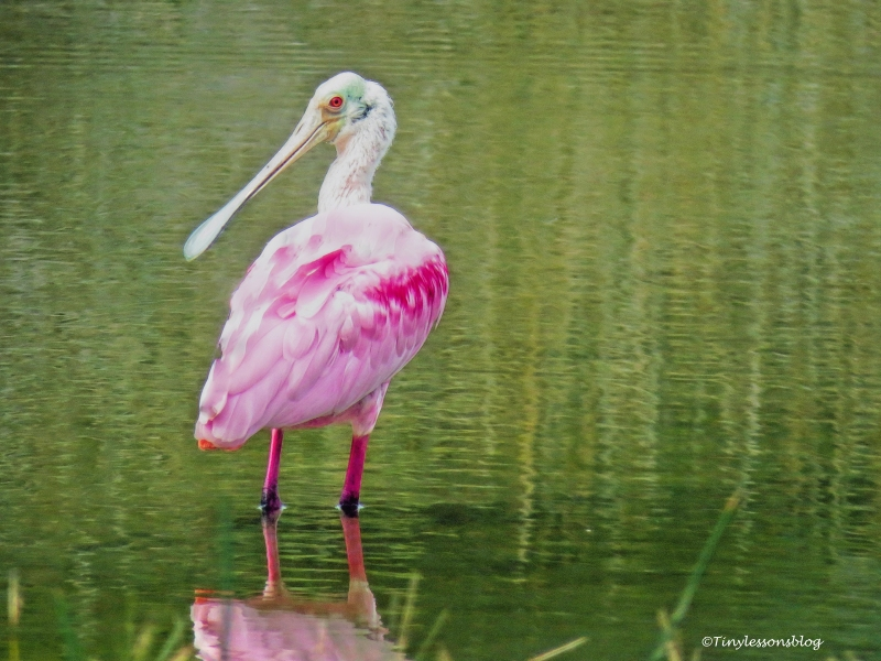 roseate-spoonbill-2-ud94