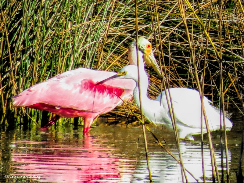 roseate spoonbill and snowy egret ud97.jpg