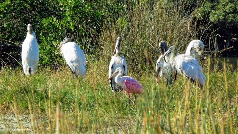 roseate-spoonbill-with-wood-storks-ud94