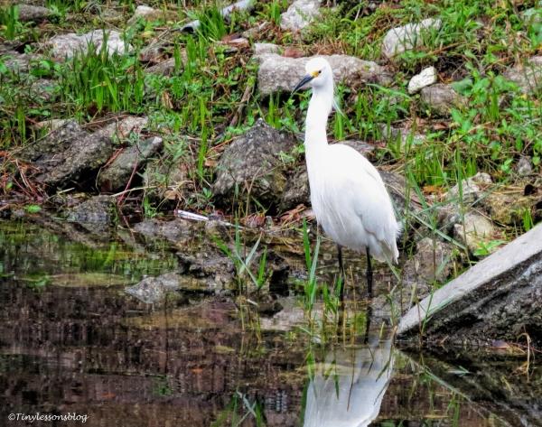 snowy-egret-jax-ud98