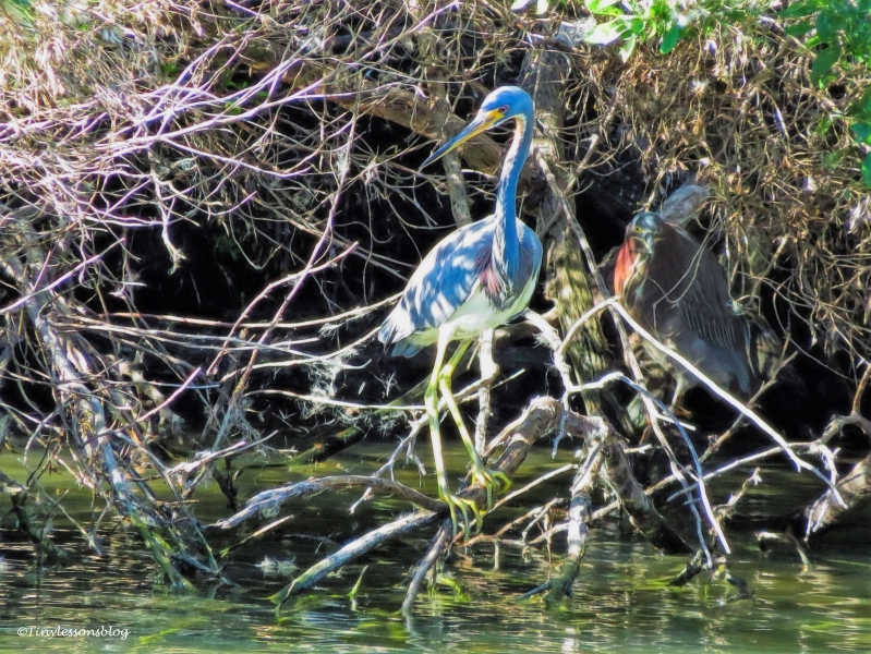 tricolored-heron-and-green-heron-in-shadows-ud97