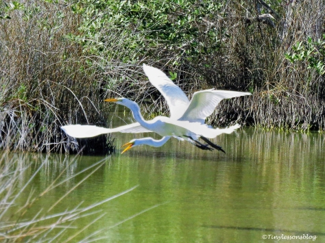 two great egrets flying 2 ud97.jpg