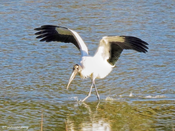 wood-stork-fishing-ud97