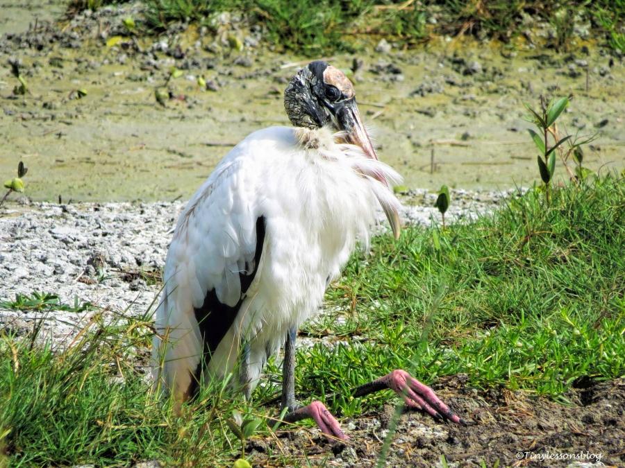 wood-stork-sitting-ud94