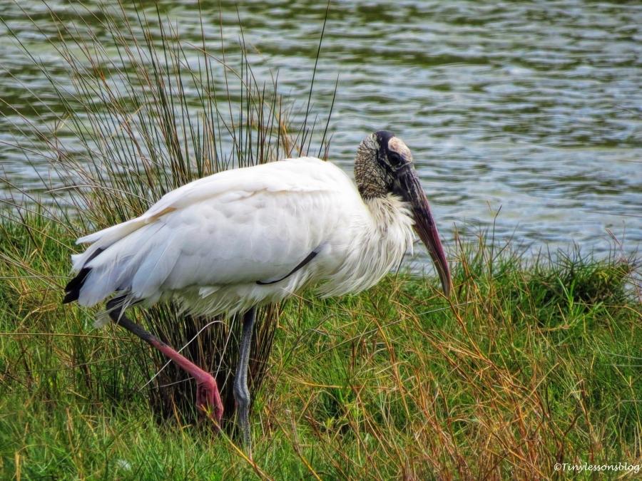 wood-stork-ud94