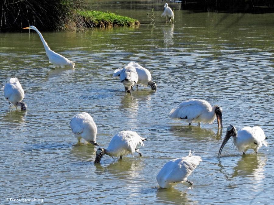 wood-storks-eating-ud97
