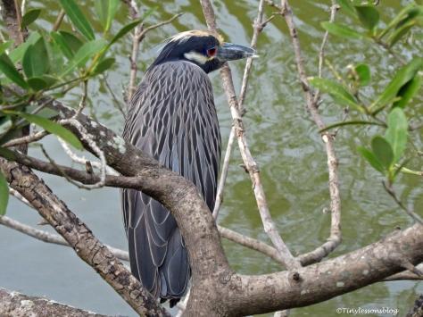 yellow-crowned-night-heron-2-ud94