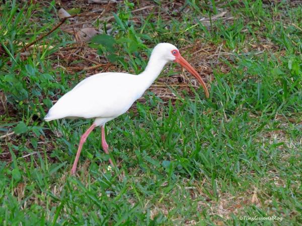blue-eyed-ibis-ud102