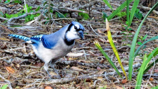 blue-jay-ud101