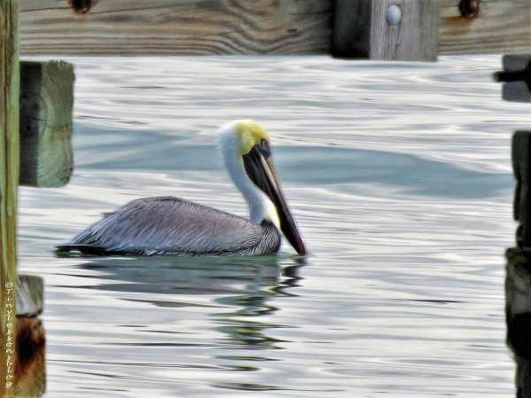 brown-pelican-ud101