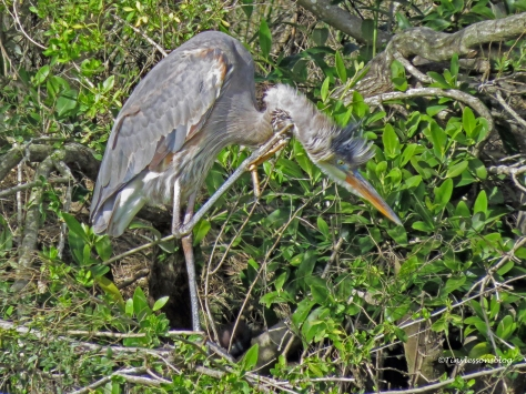 great-blue-heron-scratches-himself-ud102