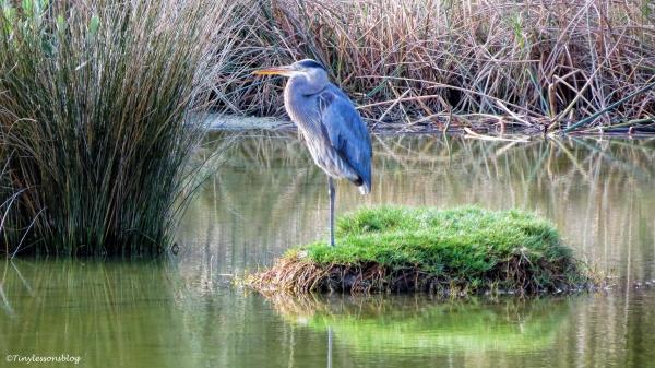 great-blue-heron-ud101