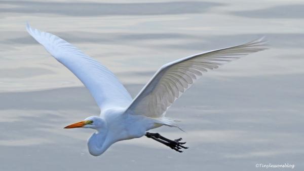 great-egret-in-flight-ud101