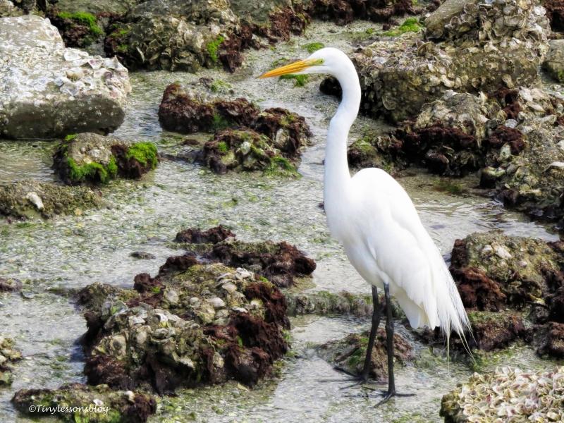 great-egret-ud101